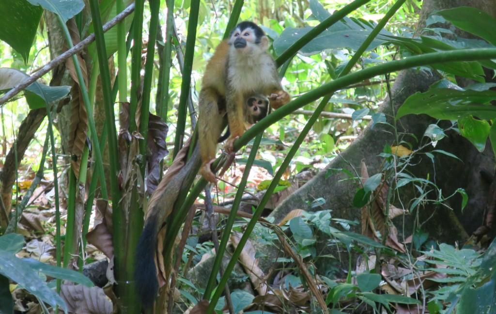 Corcovado - Squirrel monkey mum